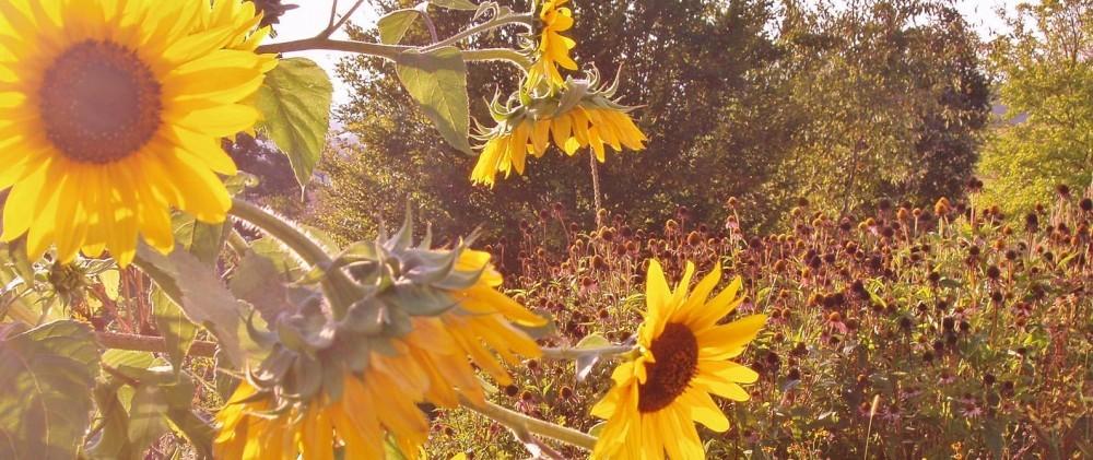 Heilpraktiker-Kreuer-sonnenblummen