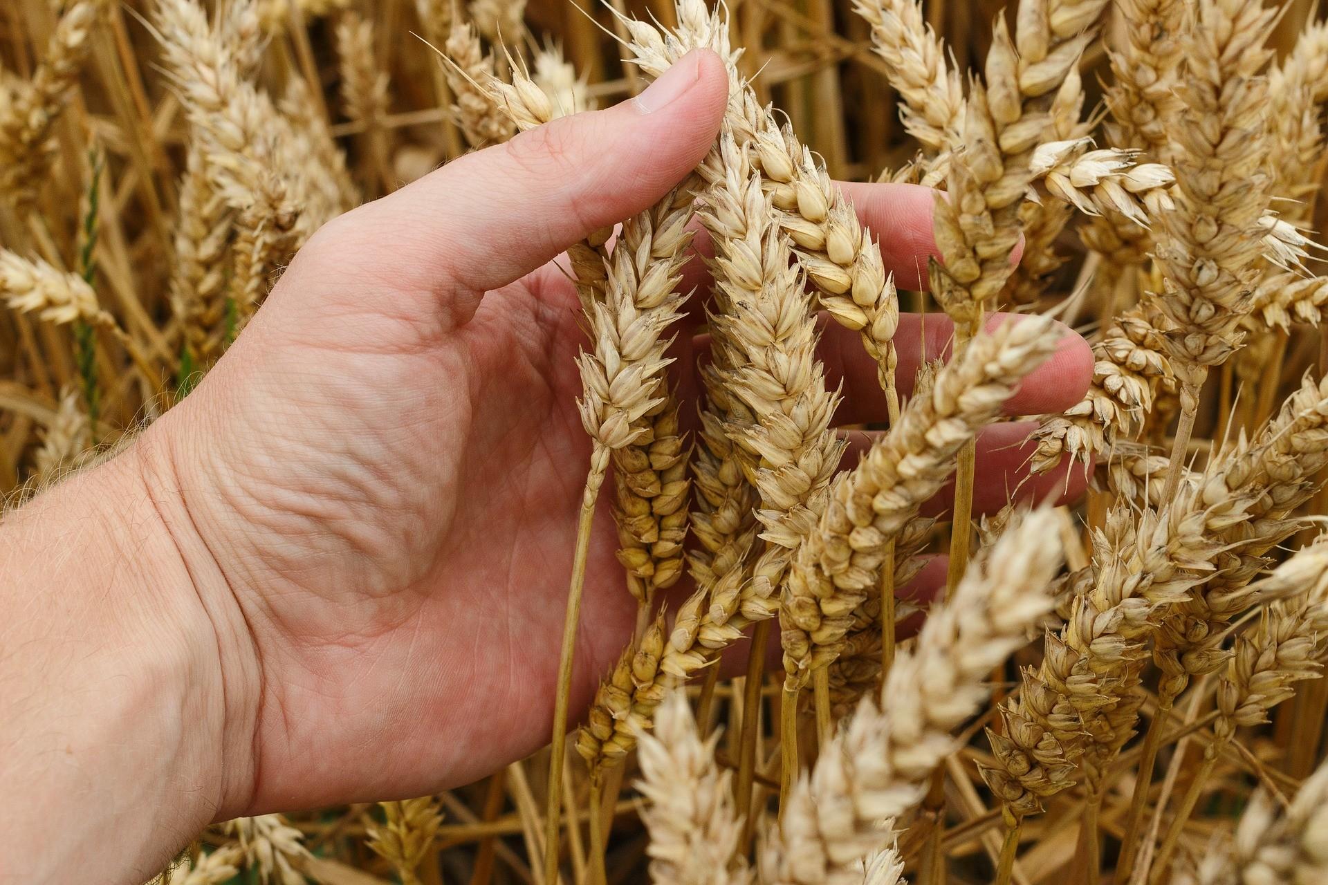 Weizen hat sich stark verändert - Glutenunverträglichkeiten nehmen zu!